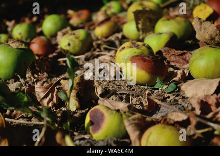Green apples on the ground fallen from the tree, Malus domestica - Stock Photo