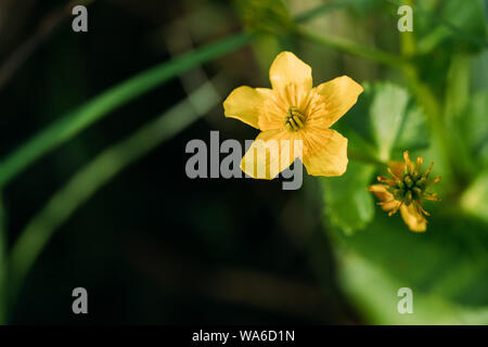 Caltha Palustris, Known As Marsh-marigold And Kingcup, Is A Perennial Herbaceous Plant Of The Buttercup Family, Native To Marshes, Fens, Ditches And W - Stock Photo