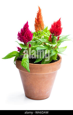 Colorful  celosia plants in flower pot isolated on white. - Stock Photo