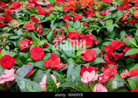Beautiful fresh impatiens arranged in a flower shop. Red sunpatient flowers. - Stock Photo