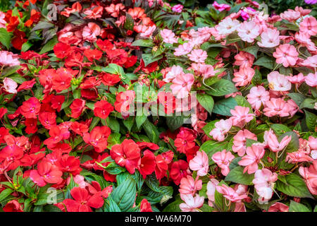 Beautiful fresh impatiens arranged in a flower shop. Red and pink sunpatient flowers. - Stock Photo