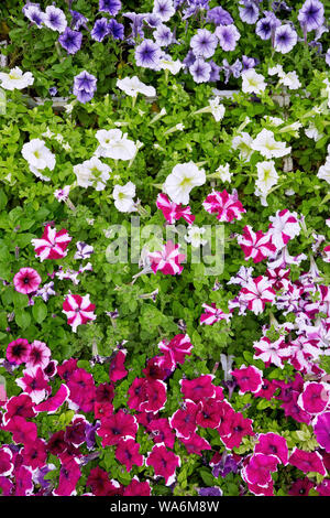 Colorful petunias in a flowerbed. Close up overhead view. - Stock Photo
