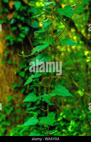 vertical background - stalk of colchis ivy on a green background of subtropical forest