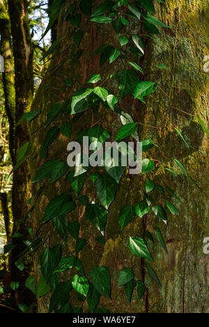 vertical background - colchis ivy on a dry mossy tree trunk