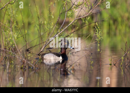 Drake ring-necked duck swimming in a northern Wisconsin lake. - Stock Photo