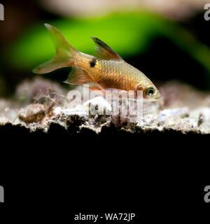 Aquatic nature still life scene with young longtail barb fish on black background. Pethia Conchonius exotic aquarium fish macro view. Shallow depth of - Stock Photo