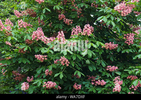 Fort McNair red horse chestnut (Aesculus x carnea Fort McNair). Hybrid between Aesculus pavia and Aesculus hippocastanum. - Stock Photo