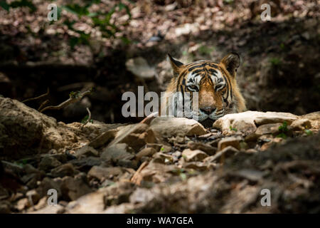 A dashing and handsome looking royal bengal wild male tiger portrait with an eye contact.Adult Male Tiger has Lovely mane and beard at Ranthambore - Stock Photo