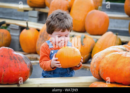 a cute little toddler in overalls picks a perfect pumpkin at a farm to be his Halloween jack o lantern - Stock Photo