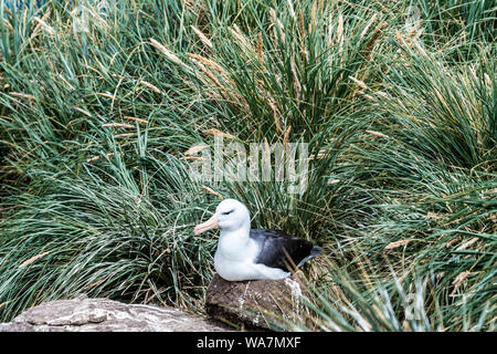 Black-browed Albatross, Thalassarche melanophris, sitting on nest and surrounded by tussock grass, West Point Island, Falkland Islands, South Atlantic - Stock Photo