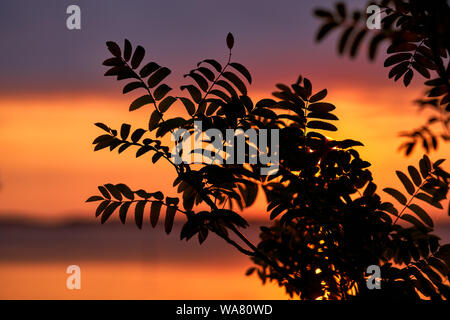 Late August sunset behind rowan leaves by the Baltic Sea in Southern Finland - Stock Photo