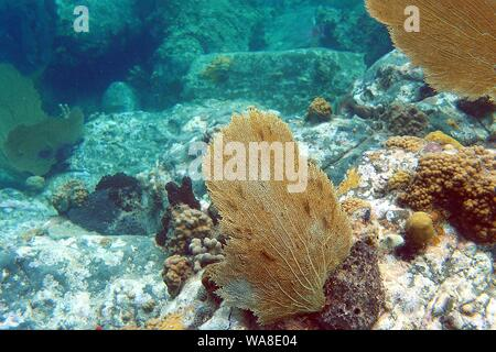 Fine examples of brown / tan coloured common sea fans (Gorgonia flabellum), Little Bay, Anguilla, BWI. - Stock Photo
