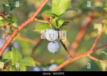 Blueberries ripening on the bush. Shrub of blueberries. Growing berries in the garden. Close-up of blueberry bush, Vaccinium corymbosum. - Stock Photo