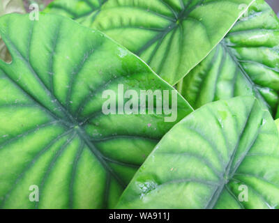 Material of big green tropical leaves - Stock Photo