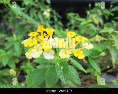 Beautiful small yellow flowers - Stock Photo