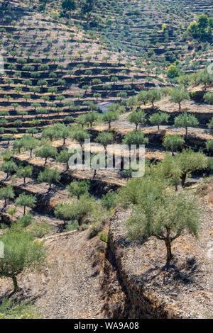 Olives trees on terraced hilsides near Barca de Alva in the  Douro International Natural Park, Tras-os-Montes e Alto Douro region,  Northern Portugal. - Stock Photo
