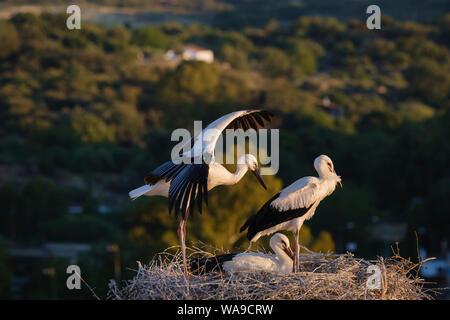 White stork (Ciconia ciconia) chicks on nest. Valencia de Alcantara. Extremadura. Spain. - Stock Photo
