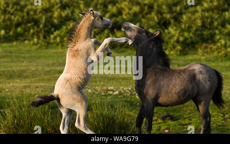 Gower Peninsular, Wales, UK. Monday 19th August 2019. Wild ponies are pictured on Gower in South Wales, as dawn breaks on the peninsular. The hardy ponies wander freely on the common land of the Gower and are an everyday sight in the summer months at the hight of the grazing season. Credit : Robert Meelen/Alamy Live News. - Stock Photo