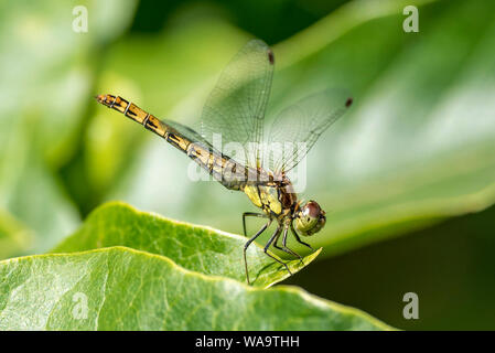 Common darter dragonfly resting on a magnolia leaf. - Stock Photo