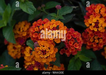 Lantana camara, wild-sage, flowers in a garden in Erice, Sicily - Stock Photo