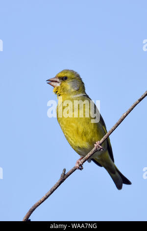 European Greenfinch / Grünfink ( Carduelis chloris ), male bird in breeding dress, perched on top of a  bush, singing, blue sky, wildlife, Europe. - Stock Photo