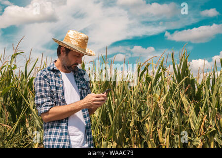 Agronomist typing text message on smartphone out in corn field on bright sunny summer day, using modern technology for communication in agriculture - Stock Photo