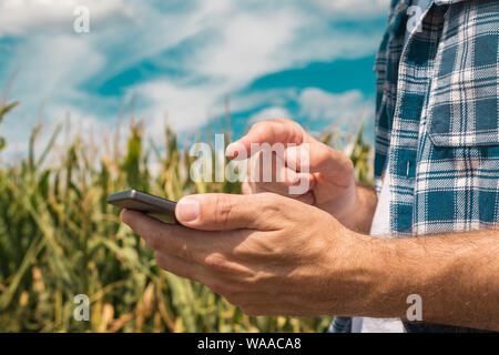 Agronomist typing text message on smartphone out in corn field on bright sunny summer day, using modern technology for communication in agriculture, c - Stock Photo