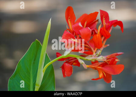 Red Canna (also Canna Lily) flower in a garden Stock Photo