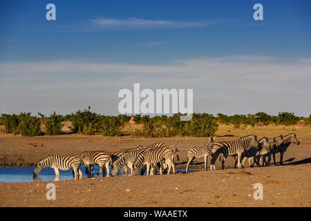 Plains Zebra - Equus quagga; large popular horse like animal from African savannas; Etosha National Park; Namibia - Stock Photo