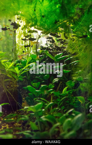Jungle in an aquarium with small black fish - Stock Photo