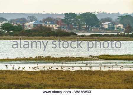 Eurasian Curlew (Numenius arquata) in the foreground on poole harbour, looking over to poole, taken in the UK