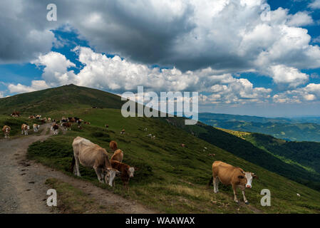 Summer landscape with cow grazing on fresh green mountain pastures. - Stock Photo