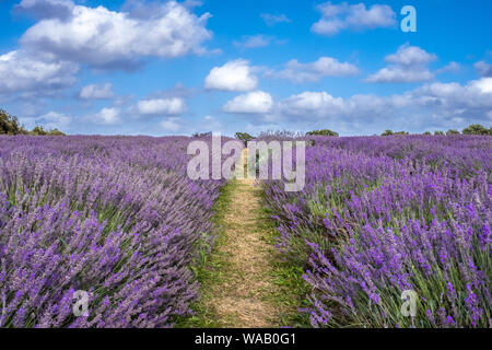 A beautiful summer's day in a lavender field at full bloom - Stock Photo