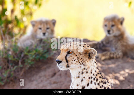 Cheetah with her cubs in the background - Stock Photo