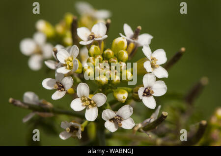 Rorippa nasturtium aquaticum great watercress green watercress known as watercress is an edible plant of pretty clustered white flowers green backgrou Stock Photo