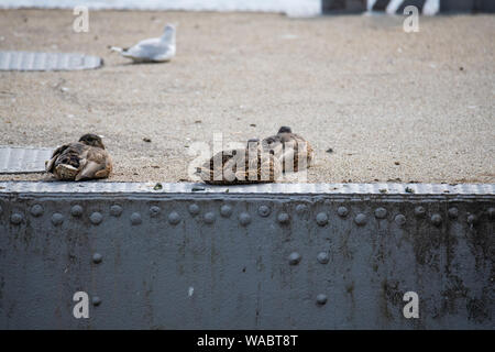 Ducks  frolic at the Weser in Bremen Germany - Stock Photo