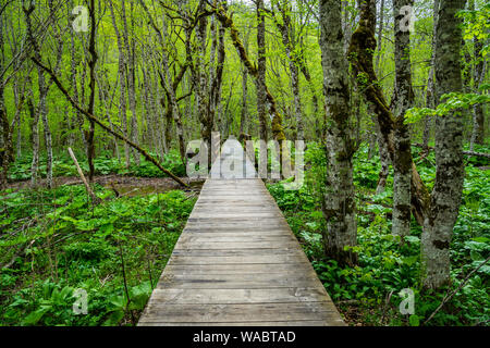 Montenegro, Endless wooden walkway path through green unspoiled rainforest nature landscape and mire of biogradska gora national park - Stock Photo