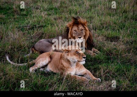 Löwen-Paar (Löwen-Pärchen) liegt zusammen träumend in der Masai Mara, Löwe schaut direkt in die Kamera - Stock Photo