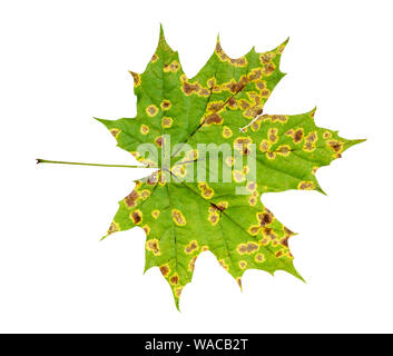 back side of natural diseased leaf of maple tree in autumn cutout on white background - Stock Photo