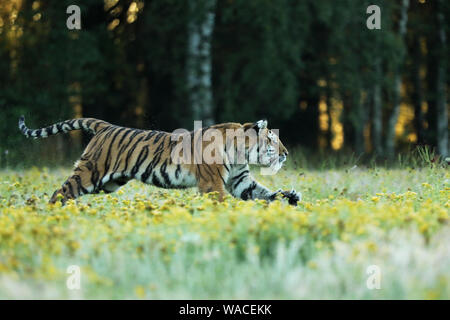 Tiger with yellow flowers. Siberian tiger in beautiful habitat on meadow - Pathera tigris altaica - Stock Photo