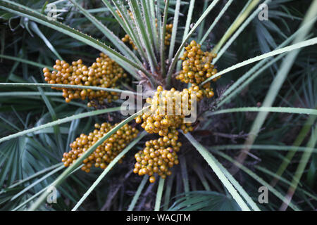 Numerous ripening fruits on the trunk of the palm between long narrow leaves - Stock Photo