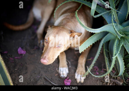 A large dog of light brown color sits on a flower bed next to a bush of aloe - Stock Photo