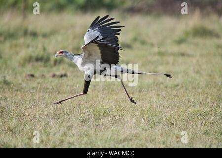 Secretary bird (Sagittarius serpentarius) running prior to take-off - Stock Photo
