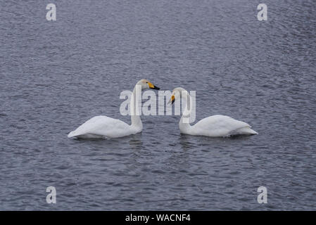 Two swans in love swim beautifully on a winter lake. 'Lebedinyj' Swan Nature Reserve, 'Svetloye' lake, Urozhaynoye Village, Sovetsky District, Altai r - Stock Photo