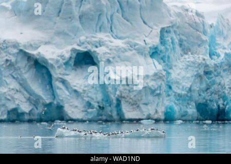 a large group of birds sits on a piece of ice floating - Stock Photo