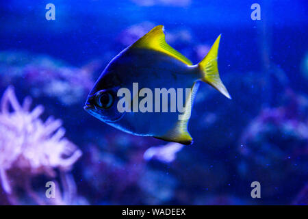 Beautiful group of sea fishes captured on camera under the water under dark blue natural backdrop of the ocean or aquarium. Underwater colorful fishes - Stock Photo