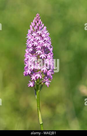 specimen of orchid pyramidal, anacamptis pyramidalis, orchidaceae - Stock Photo
