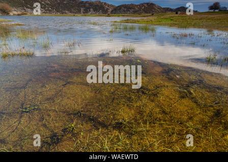 Strings of Green toad, Bufo viridis, toadspawn, in Omalos pond, White mountains, Omalos plateau, Crete. - Stock Photo