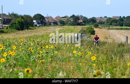 Brighton UK 20th August 2019 - Cyclists and walkers pass by a field of sunflowers at Woodingdean near Brighton on a beautiful sunny day . Hot weather is forecast for later in the week throughout Britain especially over the bank holiday weekend. Credit : Simon Dack / Alamy Live News - Stock Photo