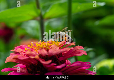 Macro shot of a bumble bee pollinating a zinnia flower - Stock Photo